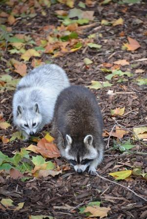 raccoons: Raccoons at the zoo in Antwerp