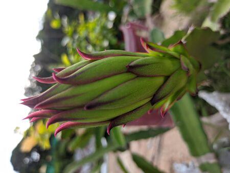 Very Nice dragon fruit flower