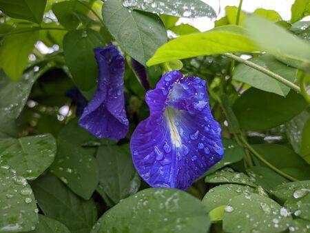 Purple morning glory flower in garden