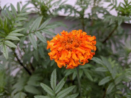 Natural Marigold Flowers in garden