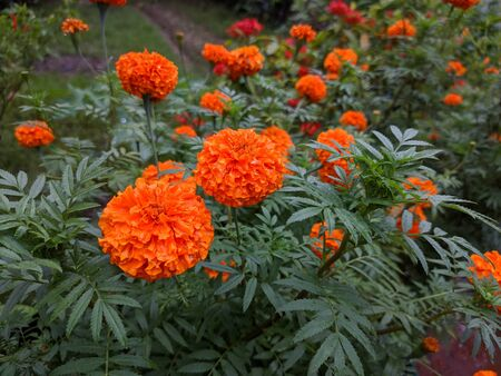 Natural Marigold Flowers in garden Banque d'images - 149593281