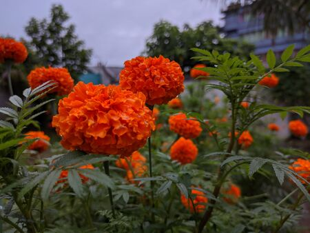 Natural Marigold Flowers in garden Banque d'images - 149593859