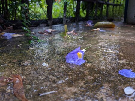 A morning glory flower is lying on the ground