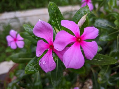 Beautiful Catharanthus roseus in garden Banque d'images