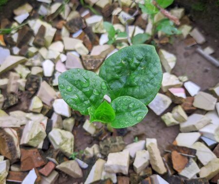 A nutritious green vegetable seedling