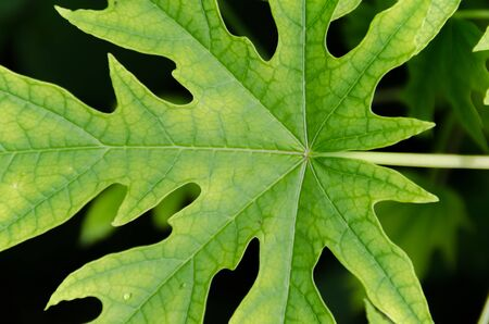 Papaya Leaves Pattern photo