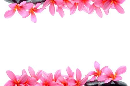 plumeria on a white background: Beautiful Frangipani flowers - border design Stock Photo