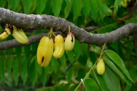bilimbi: Averrhoa bilimbi a.k.a. KamiasCucumber treeBilimbi Stock Photo