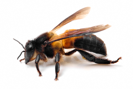 Close Up of bee photo