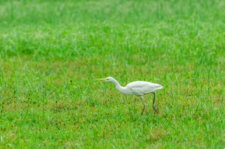 chilika: Cattle Egret (Bubulcus ibis)