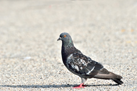 Pigeon and dove photo