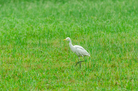 Cattle Egret (Bubulcus ibis). Selective focus, soft focus and shallow depth of fields - DOF photo