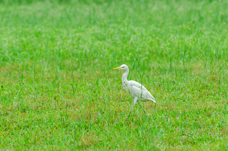 chilika: Cattle Egret (Bubulcus ibis). Selective focus, soft focus and shallow depth of fields - DOF
