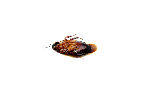 Dead cockroach isolated on a white background photo