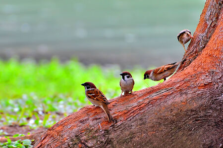 Eurasian Tree Sparrow  Passer montanus  photo