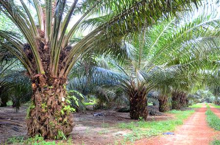 palm oil plantation: Oil Palm Plantation