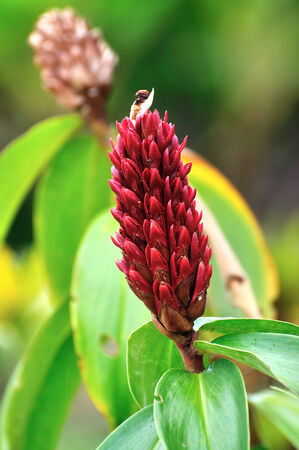 A beautiful tropical red ginger flower photo