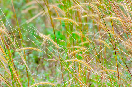 imperata: Close up of Feather grass. Soft focus, shallow depth of fields and selective focus.
