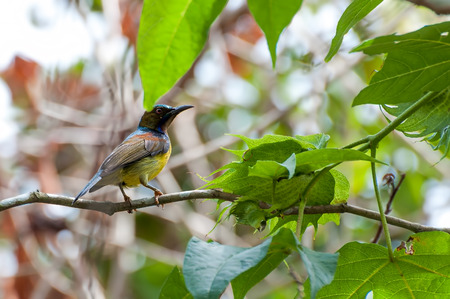 The Brown-throated Sunbird (Anthreptes malacensis), also known as the Plain-throated Sunbird, is a species of bird in the Nectariniidae family. photo