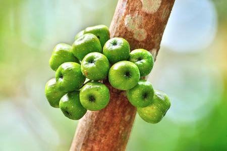 Cluster Fig on tree (Ficus racemosa Linn.) photo