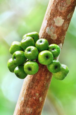 linn: Cluster Fig on tree (Ficus racemosa Linn.)
