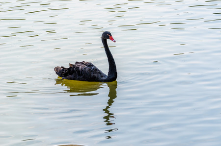 cygnet: The red bill black swan on the water Stock Photo