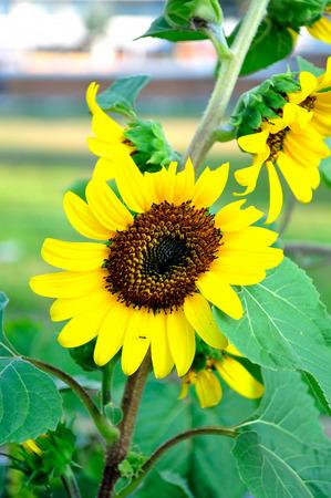 helianthus annuus: Sunflower in the garden