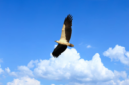 Eagle white bellied flying over the stunning blue sky. Soft focus and blur on birds head due to fast movement. Soft focus