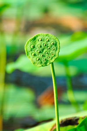 seedpod: Sacred lotus -NELUMBO NUCIFERA seedpod