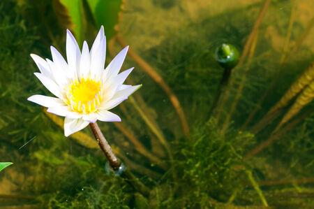Weiße Seerose Blume Mit Gelben Zentrum Lizenzfreie Fotos, Bilder Und ...