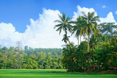 Landscape of rice field with coconut trees photo