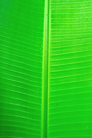 Texture background of banana leaf Stock Photo