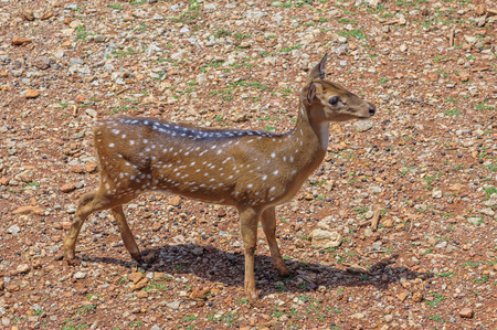 axis deer: Young chital or cheetal deer (Axis axis), also known as spotted deer or axis deer