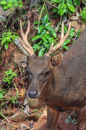 virginianus: Trophy Whitetail Buck Deer Stag Stock Photo