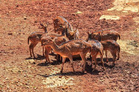 axis: Chital joven o ciervos cheetal (Axis axis), tambi�n conocido como el ciervo manchado o el ciervo de eje Foto de archivo
