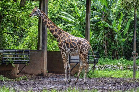 giraffa: A large giraffe bull (Giraffa camelopardalis)