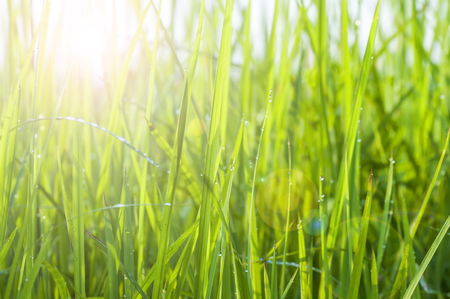 green field: Background of dew drops on bright green grass with lens flare (Swallow DOF) Stock Photo