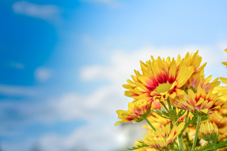 Beautiful flowers of chrysanthemums over blue sky