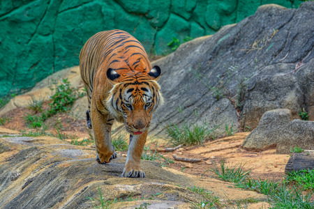 Behavior of the tiger Stock Photo