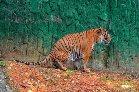 pee pee: Tiger pee Stock Photo