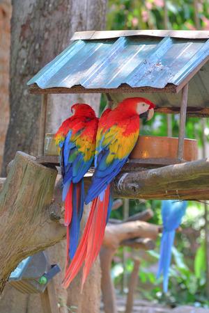 scarlet: Scarlet Macaws Stock Photo
