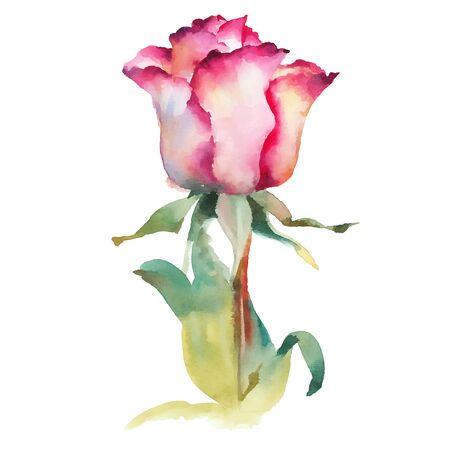 Pink rose watercolor vector  illustration Illustration