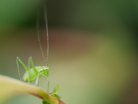 speckled: A Speckled Bush-cricket stares into space. Stock Photo