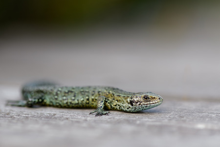 viviparous: Common Lizard.