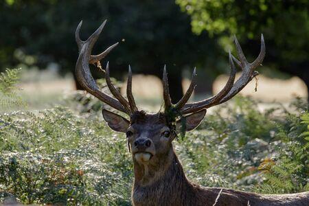 red deer: Red Deer Stag portrait.