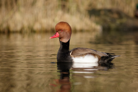 wildfowl: A Red-crested Pochard in the eveing light. Stock Photo