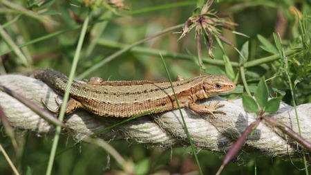 zootoca: A Common Lizard flat out in the sunshine. Stock Photo