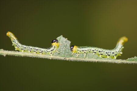 coming together: Two Sawfly Larva eating a single leaf and coming together.