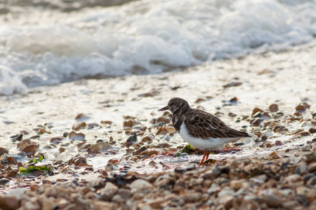 stoney: A Turnstone on a stoney beach hunting for food  in the breaking white water.