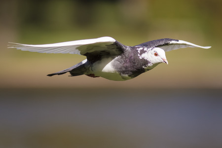 feral: A Feral Pigeon flying across a lake in the sunshine. Stock Photo